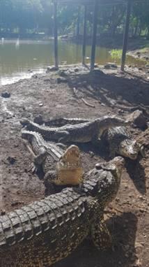 Ferme aux crocodilles, Playa Larga, Cuba